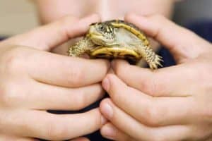 How Long Do Pet Turtles Live?