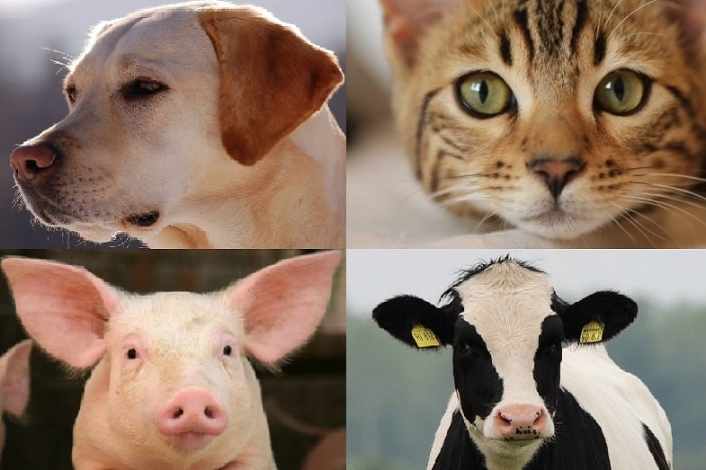 What Animals Sweat? Dogs, Cats, Pigs, Cows?