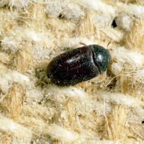 little black carpet beetle