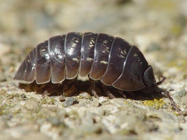 pill bug tiny black bugs