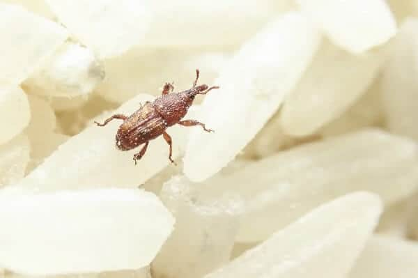 weevil tiny black bugs in house