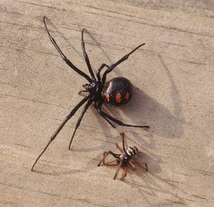 Baby Black Widow Spider Facts And Pictures Howchimp