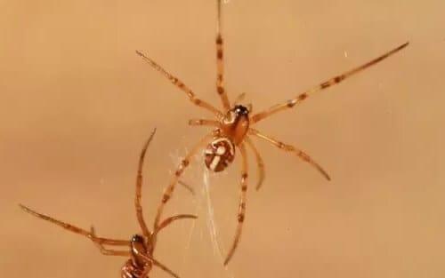 baby black widow spider