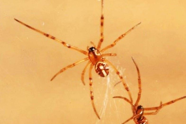 black widow baby spider
