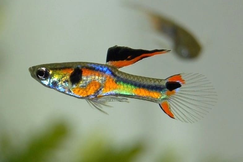 How Long Do Guppies Live? Plus Longer Life Tips