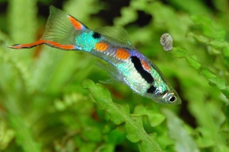 how long does a guppy fish live for