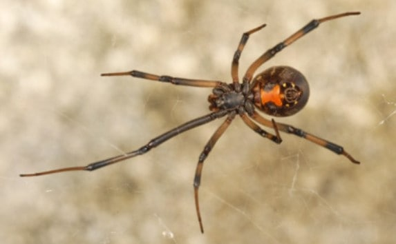 southern baby black widow