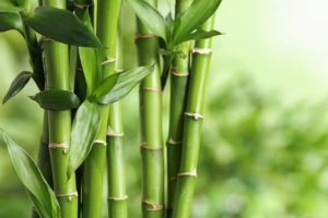 How Long Does It Take for Bamboo to Grow?