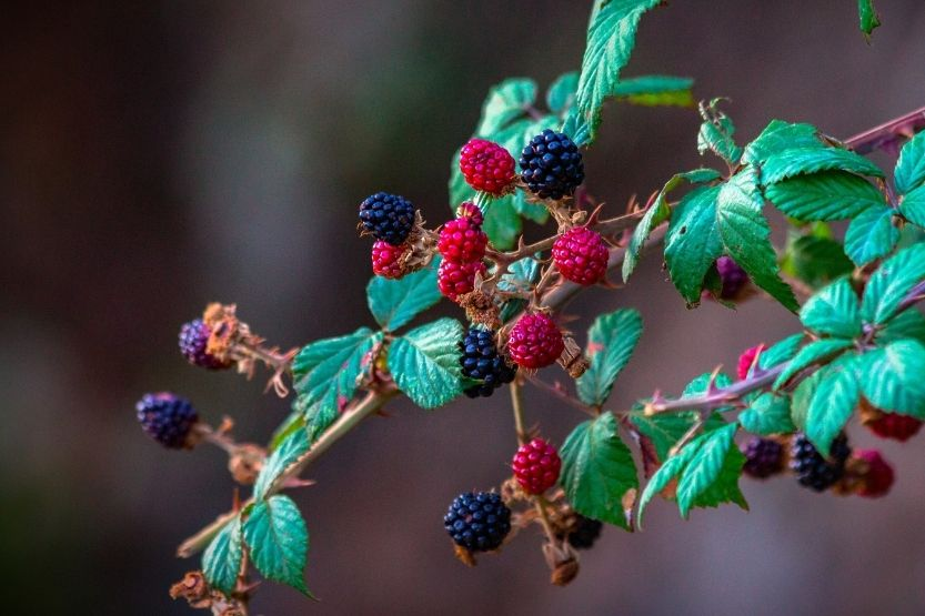 are blue raspberries real