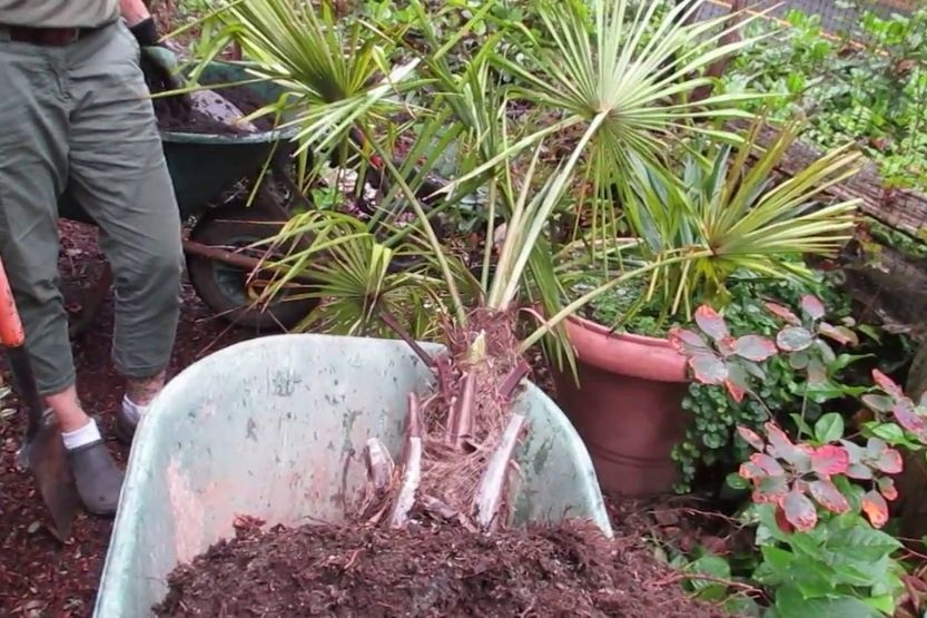 how deep are palm tree roots