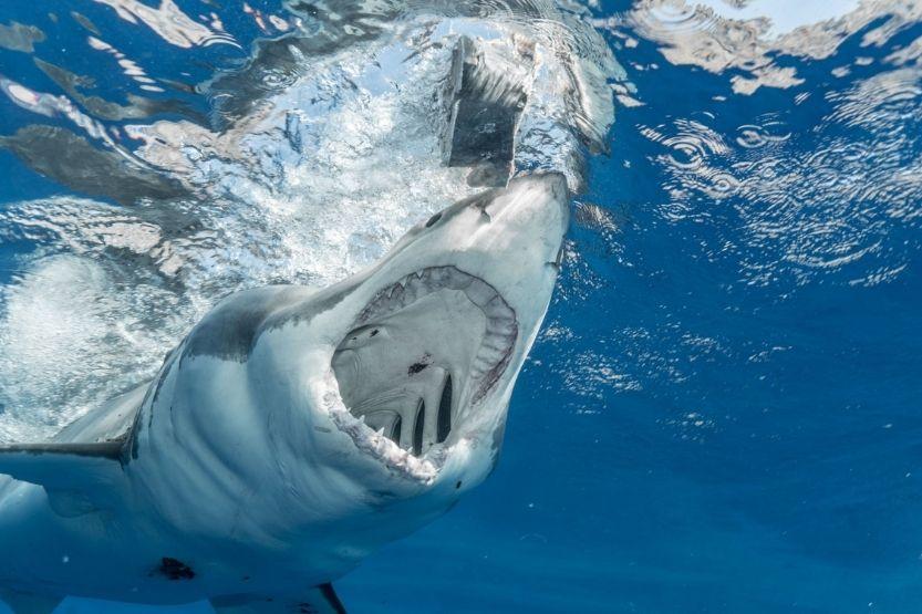 how many bones in shark body