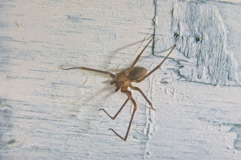 Baby Brown Recluse Spider: How to Identify, Is It Dangerous? [With Pictures]